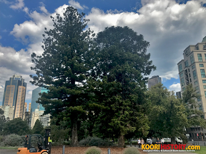 A Bunya pine (right) situated next to another pine species in Melbourne's Carlton Gardens.. Photo: John T. Patten
